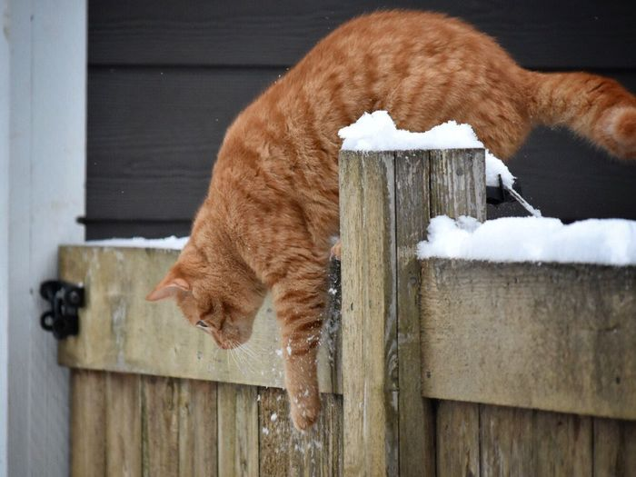 Animal Themes One Animal Mammal Domestic Cat No People Feline Day Domestic Animals Pets Nature Indoors  Alpaca Cold Temperature Snow Covered Wintertime Snow ❄ Fence Pet Photography  Cats Of EyeEm Climbing Jumping Ginger Cat Feline Portraits Cat