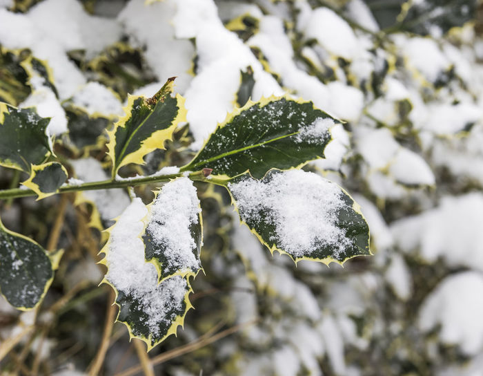 Part of a holly bush in winter snow Aquifoliaceae Holly Ilex Plant Beauty In Nature Close-up Cold Temperature Day Focus On Foreground Frost Frozen Green Color Nature No People Outdoors Seasonal Seasons Snow Varieagated Weather White Color Winter