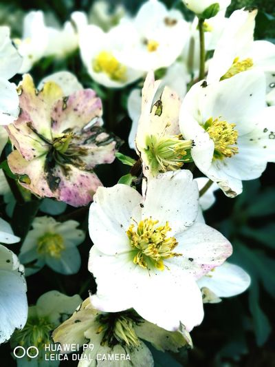 Christrose Christmas Decorations Flower Flowers White Flower Bud