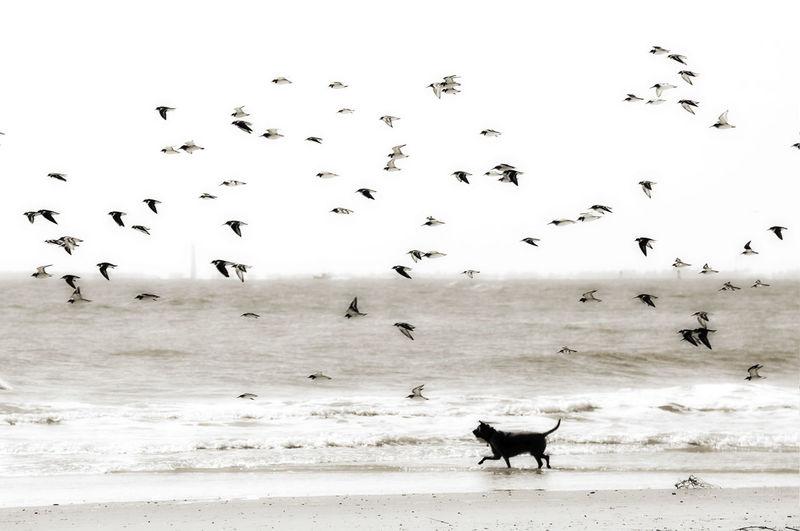 Beach Dog Flock Of Birds Sea Silhouette