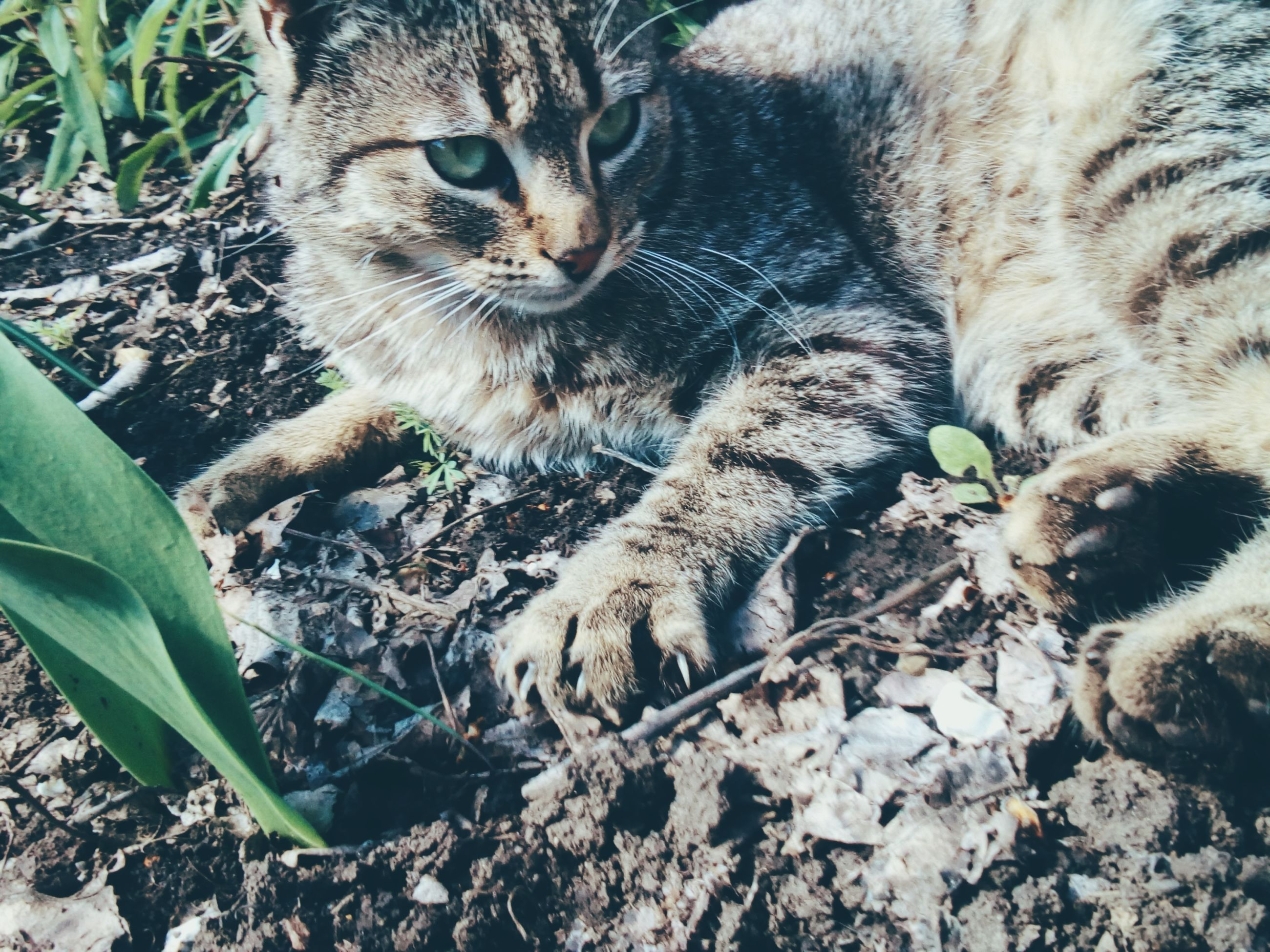domestic cat, animal themes, mammal, one animal, domestic animals, pets, feline, no people, cat, day, outdoors, close-up, nature