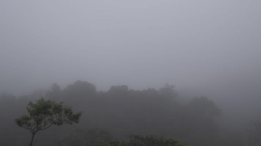Fog Tree Plant