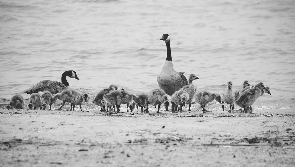 Family Animal Themes Bird Canada Goose Day Goose Gosling Lake Large Group Of Animals Nature No People Outdoors Water Young Animal Young Bird