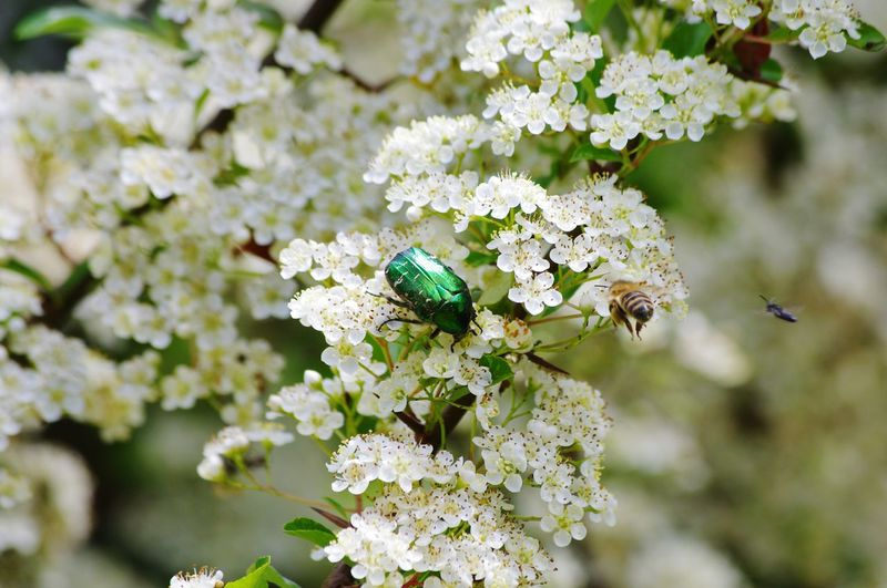 Nature_collection Nature Beauty In Nature Rose Chafer Beatle And One Other Flower Perching Eating Insect Flower Head Animal Themes Close-up Plant Flowering Plant Buzzing Bee Honey Bee In Bloom Plant Life Pollen The Great Outdoors - 2018 EyeEm Awards
