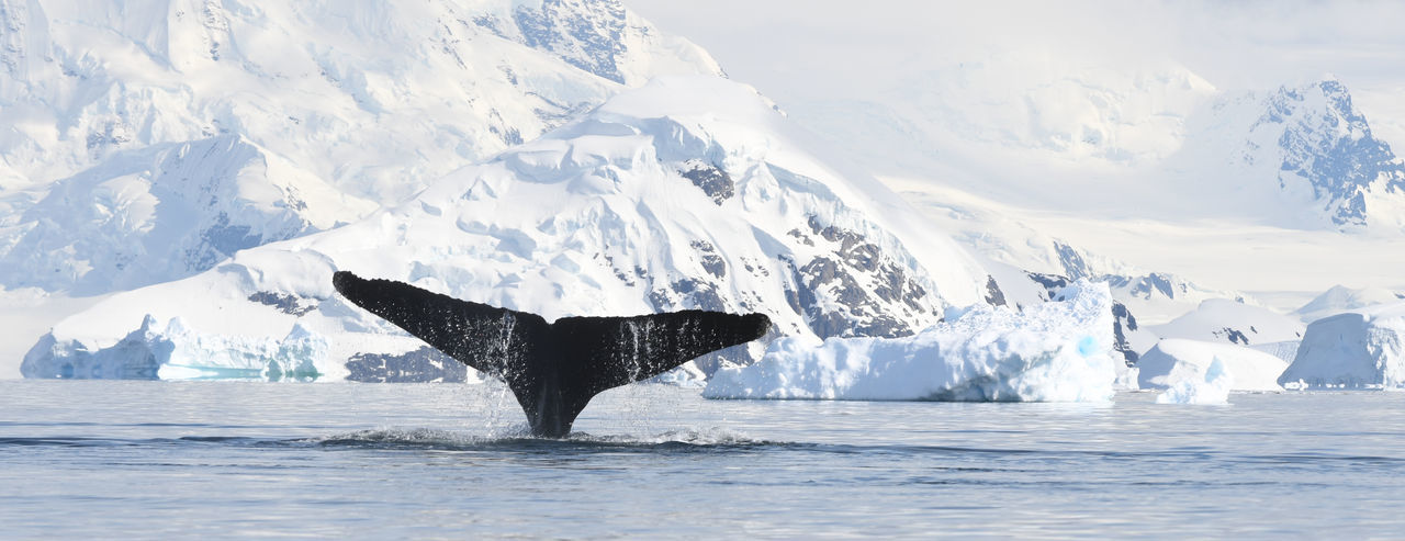 Cropped tail of whale swimming in sea during winter