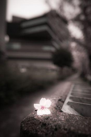 春の思い出 OSAKA Japan Photography Japan Cherry Blossom Wood - Material Close-up