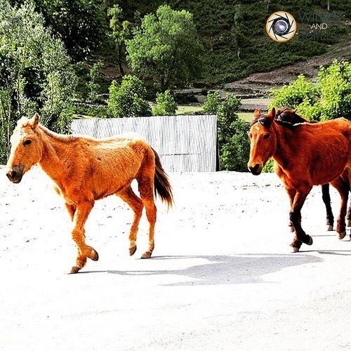 Horses on a trot - Captured on my way from Srinagar to Leh Ladakh. Horses Animal Animallover Kashmir Srinagar  LehLadakh Travel Travelphotography Travelgram Natgeo Nationalgeographic Natgeowild Vacation Holiday Instatraveller Wassupindia Wanderlust Indianphotographer Instapic _soi Indiabestpic Instahorses