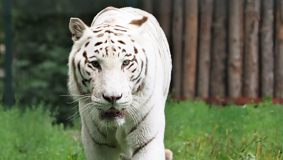 Portrait of white bengal tiger