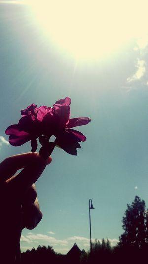 Nature Sun Flower