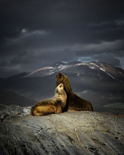 Seals on rock against cloudy sky