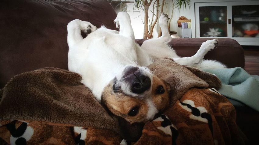 Relaxing Jack Russel