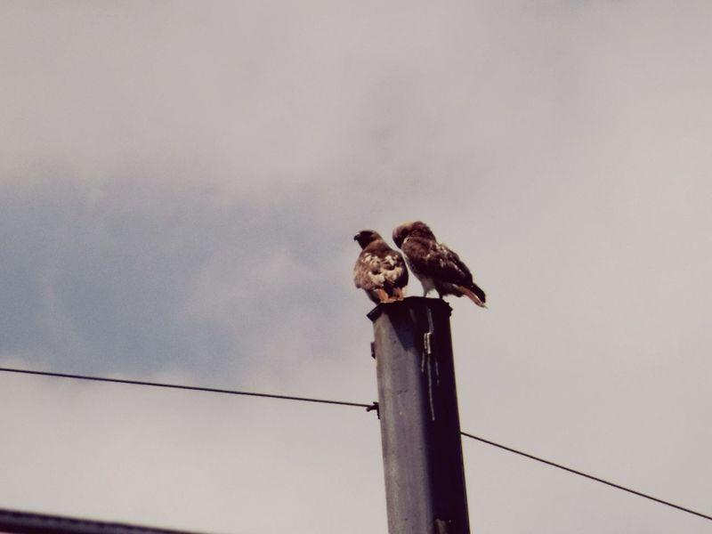 Hawks on telephone pole Bird Animals In The Wild Animal Wildlife Perching Bird Of Prey Animal Themes