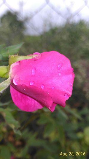 Drop Pink Color Rain Nature Flower Outdoors Beauty In Nature Flower Head Rosé