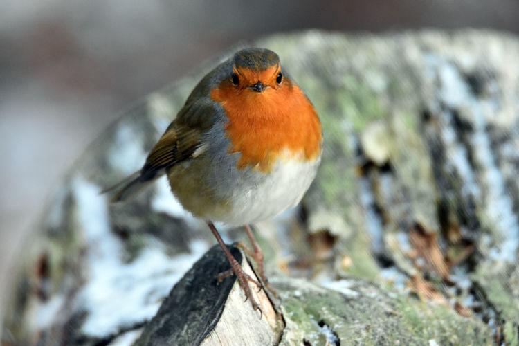 Close-up portrait of robin perching on tree stump