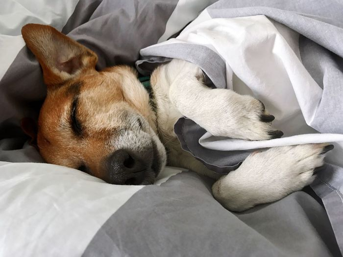 Pet Portraits Pets Dog Domestic Animals Lying Down Bed One Animal Indoors  Sleeping Resting Relaxation Dogs Tired Dog Dog's Life Doggy Dog In Bed Dog Sleeping In Bed Dog Sleeping Like A Human