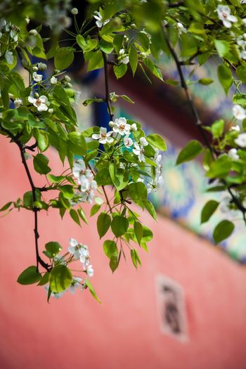 Growth Flower Nature Beauty In Nature Fragility Branch Day Outdoors Tree No People Petal Leaf Plant Close-up Blooming Freshness Flower Head Springtime 故宫 Growth The Palace Museum The Forbidden City  Beijing Architecture Building Exterior