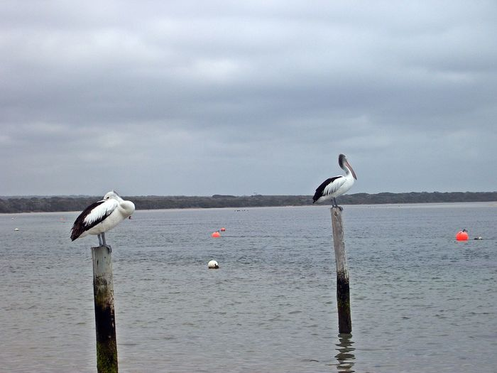 Musselroe Bay Animal Themes Animal Wildlife Animals In The Wild Beauty In Nature Bird Cloud - Sky Day Lake Nature No People Outdoors Perching Sky Spread Wings Water Wooden Post Perspectives On Nature Be. Ready. Inner Power
