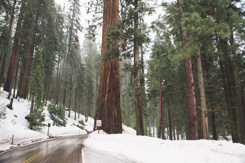 Beauty In Nature California Cloudy Cold Temperature Day Forest Growth Mountains Nature No People Outdoors Road Road Roadtrip Scenics Sequoia Sequoia National Park Snow The Way Forward Tranquil Scene Tranquility Transportation Tree Trees Winter California Dreamin