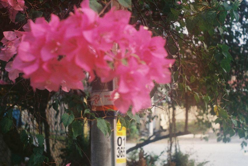 Yashica Streetphotography Rangefinder Kodak Filmisnotdead Film Photography Filmcamera Plant Growth Film Day Amateurphotographer  Filmphotography Eyeemphotography Shootfilmnotmegapixels Analog Camera Nature Pink Flowerporn Close-up Flower 35mm