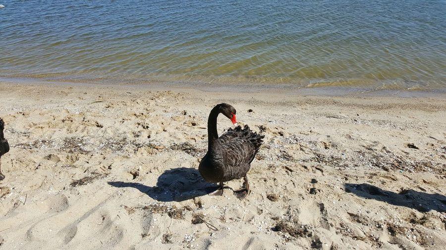 Black swan beach Bird Animal Themes Nature Animals In The Wild Beach Outdoors