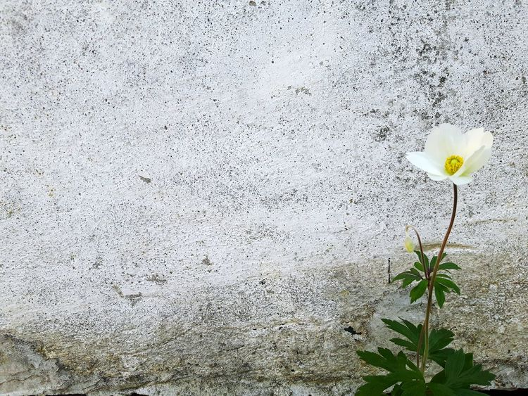 Single flower on a wall Flower Nature Plant Fragility Growth Day No People Outdoors Petal Close-up Beauty In Nature Leaf Backgrounds Flower Head Freshness Gardening Garden Beauty In Nature Ogrod Growth Garden Flowers Kwiaty Beauty Springtime Plant Investing In Quality Of Life