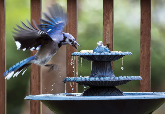 Landing Bird Bath Bird Food Blue Jay Fountain Animal Animal Wildlife Animals In The Wild Bird Bird Feeder Bird Flying Close-up Coming In For A Landing Focus On Foreground Hovering Birds Motion Spread Wings Water