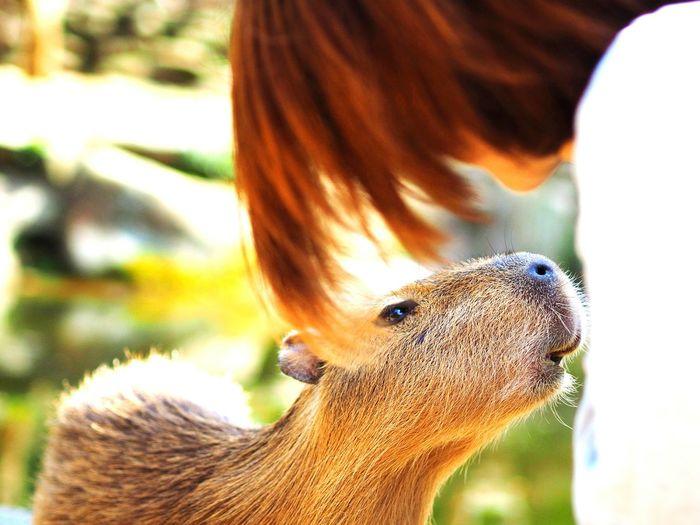 Woman looking at capybara at nagasaki bio park