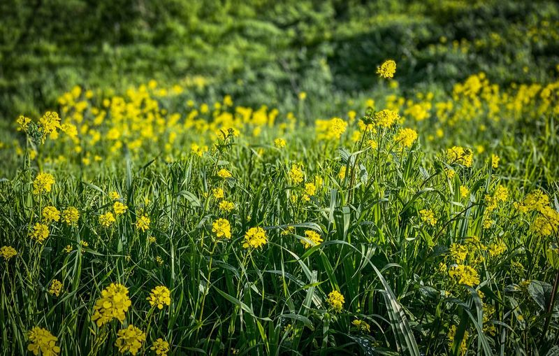 """Spring Tease"" Yellow mustard grass in the rolling green hills of an East San Francisco Bay open space are the first sign that Spring is just around the corner. Mustard Plant Spring Spring Yellow Flower Plant Flowering Plant Growth Beauty In Nature Freshness Green Color Field Nature Focus On Foreground Outdoors"