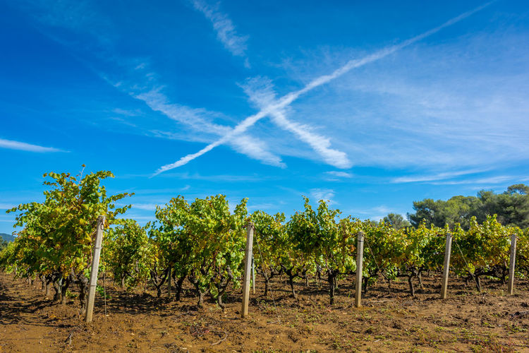 Vineyard against blue sky