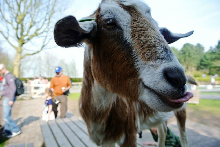 Keukenhof Goat Animal_collection EyeEm Best Shots - Macro / Up Close Goatourism Holland Amsterdam EyeEm Best Shots - Nature EyeEmBestPics The Great Outdoors - 2015 EyeEm Awards The Moment - 2015 EyeEm Awards My Best Photo 2015