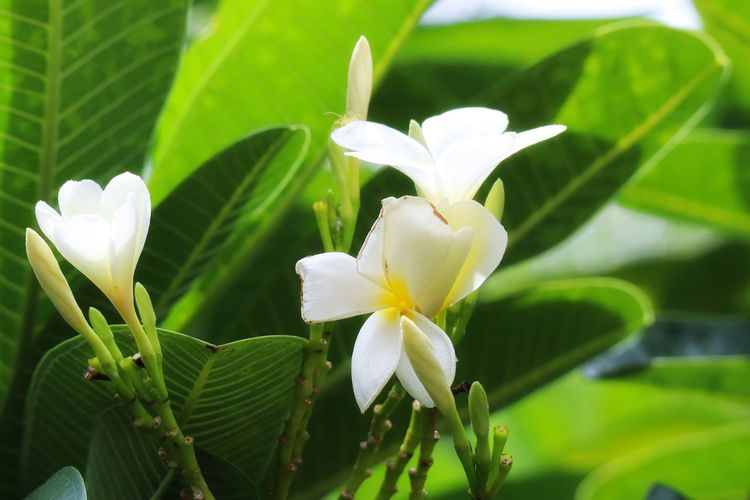 Flower Head Flower Leaf Petal Springtime Frangipani White Color Close-up Plant Green Color