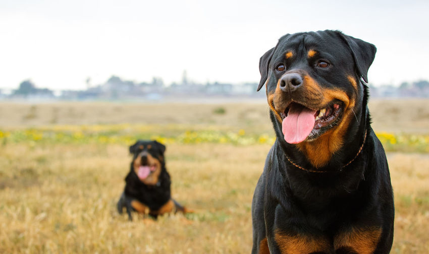 Portrait Of Rottweilers On Field Against Sky