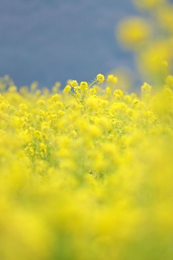 EyeEm Nature Lover EyeEm Flower EyeEm Gallery Japan Japan Photography 日本 花 風景 菜の花 Flower Oilseed Rape Yellow Rural Scene Agriculture Flower Head Crop  Sky Close-up Plant Crocus