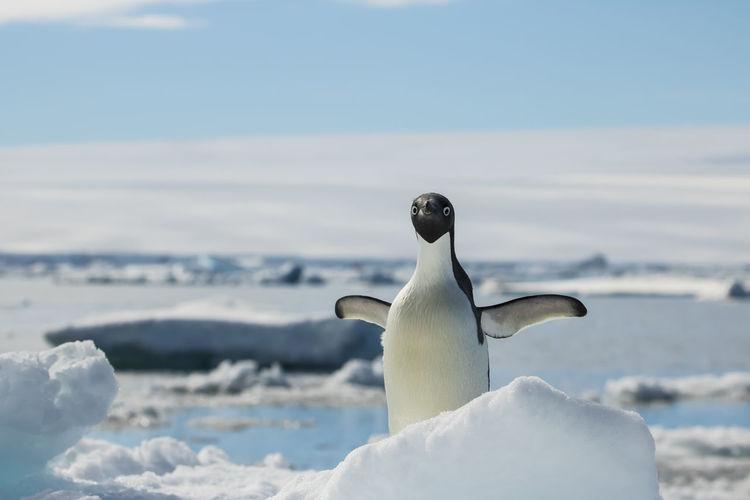 Adelie Penguin on fast ice near D'Urville Monument, Antarctic Sound, Antarctica. Adelie Penguin Adelie Penguins Antarctic Antarctica Pygoscelis Adeliae Animal Themes Animal Wildlife Animals In The Wild Antarctic Peninsula Beauty In Nature Bird Penguin Penguin In Antarctica Penguins