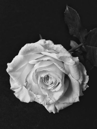 🌹🌹🌹 Rose - Flower Beauty In Nature Indoors  Still Life Photograpy Mobile Global Shooters Still Life. Mobileglobalshooters Mobilephotographyphilippines Taking Photos Eyeem Philippines Monochrome Photography Monochrome EyeEm Black&white! Mobilephotographyph EyeEm Phillipines
