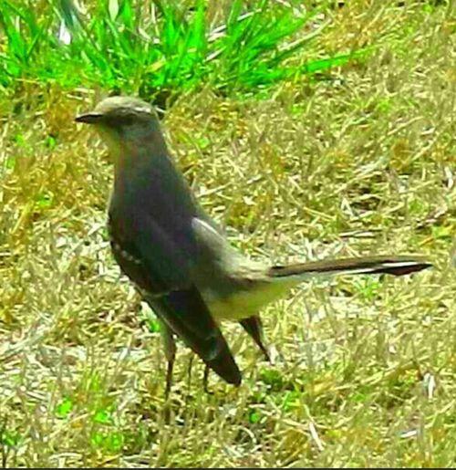 mocking bird!!!