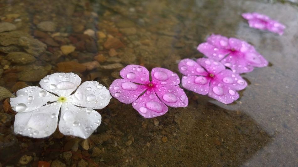 Pink Color Flower Close-up High Angle View Purple Petal Water Nature No People Day Flower Head Outdoors Fragility Beauty In Nature Freshness Periwinkle Indonesian Street (Mobile) Photographie Indonesia_photography INDONESIA Rainy Days Stone