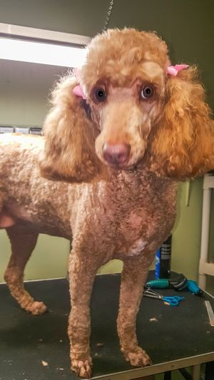 Standard Poodle Poodle🐩 Dog Grooming Pets Pure Bred Cute Dog  Hair Cut Groomingdogs Grooming Cutting Hair Furfamily Furbaby Cute Dog  Animal Photography Curly Hair Apricot Color Beautiful Animals  Family Working Volunteering Large Dog Dogs Dogs Of EyeEm Animal Themes Bows