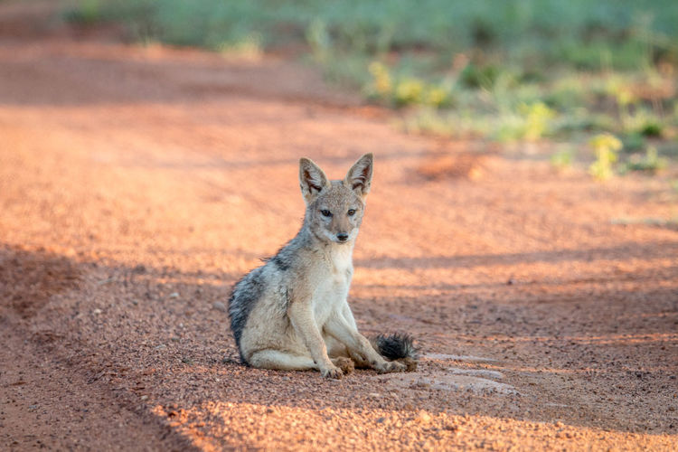 Black-backed jackal sitting on the road in the Welgevonden game reserve, South Africa. Nature Animal Animals In The Wild Wildlife Wildlife & Nature Nature Photography Africa African Safari Safari Animals Safari Beauty In Nature Travel Beautiful Nature Wildlife Photography Animals Animal Themes African Black-Backed Jackal Jackal Mammal Canine Kruger Park Predator Animal Wildlife Vertebrate