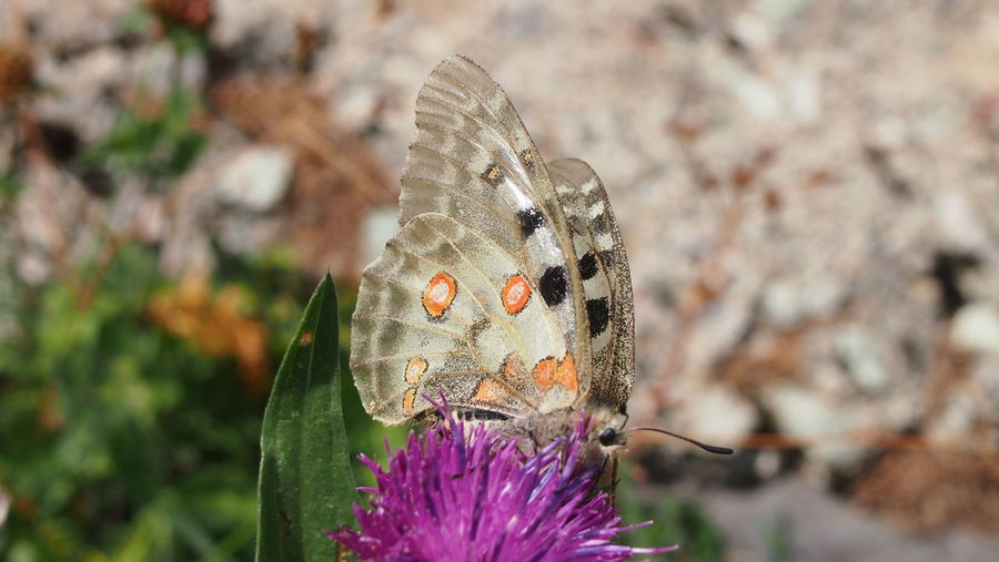 Nature Photography Butterfly White Close-up Dots One Animal Outdoors Parnassius Apollo Violet Flower