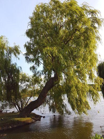 Tree by lake against sky