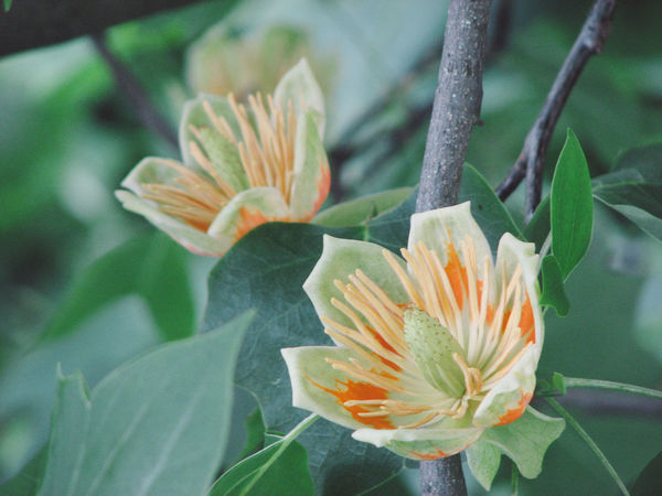 Beauty In Nature Blooming Botanic Garden Botany Branch Two Is Better Than One Cluj-Napoca Flower Flower Head Flowers Fragility Freshness Growth Nature New Life No People Petal Pollen Selective Focus Single Flower Springtime Stamen Tulip Tree Tulip Tree Branch Blossoming Yellow