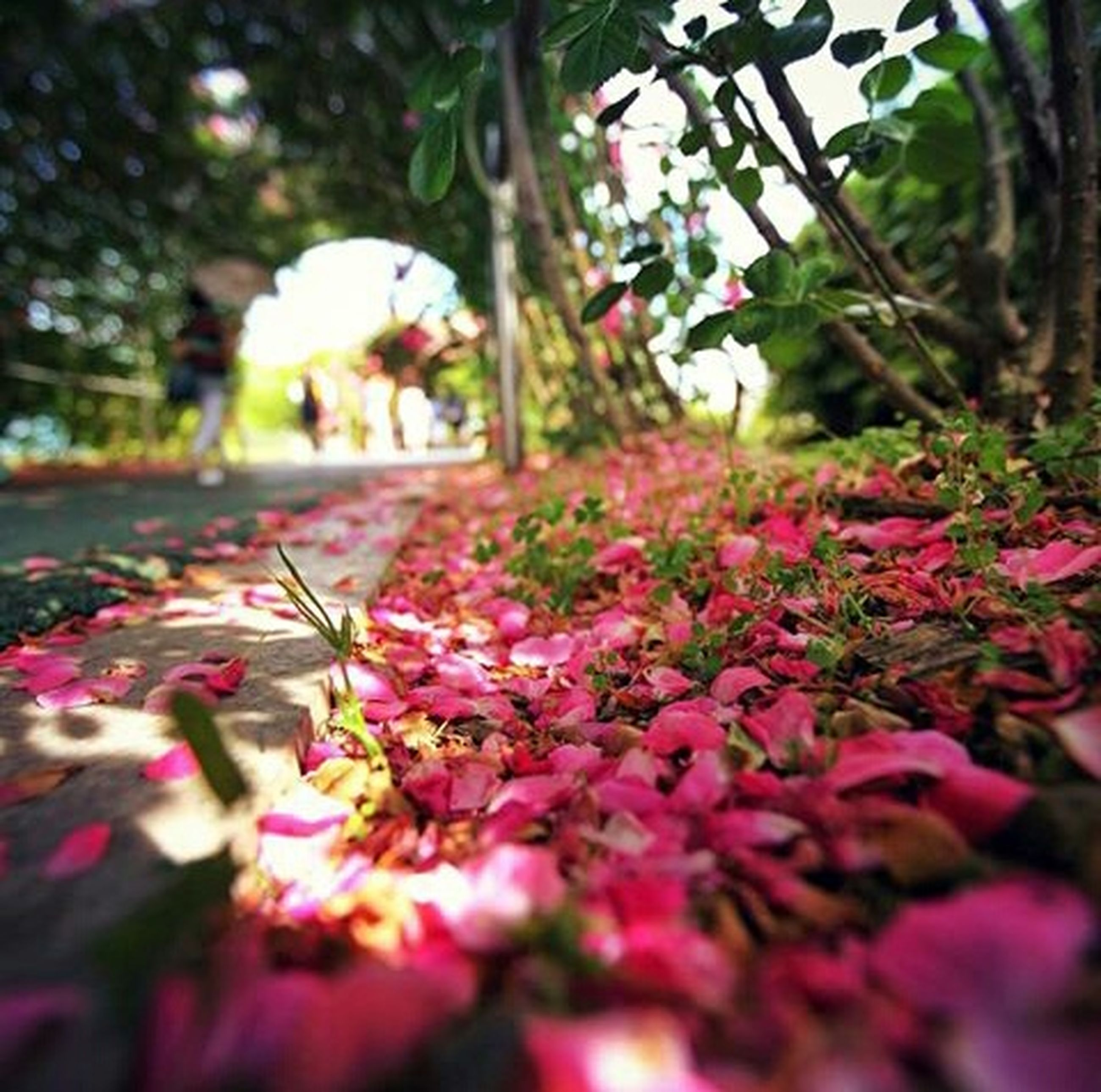 flower, freshness, growth, tree, fragility, petal, beauty in nature, nature, blooming, blossom, selective focus, in bloom, focus on foreground, close-up, plant, park - man made space, springtime, day, pink color, branch