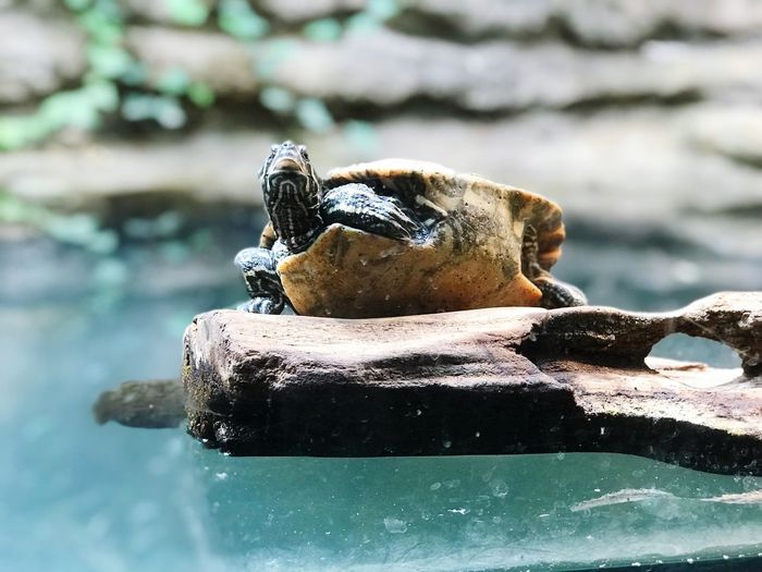 Turtle Animal Themes Animal Animal Wildlife Animals In The Wild One Animal Vertebrate Reptile Water Nature Day Focus On Foreground No People Close-up Amphibian Lake Outdoors Sunlight Swimming Animal Head  Marine