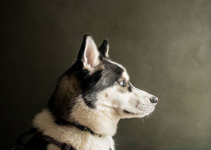 Dog portrait looking right with smoky background