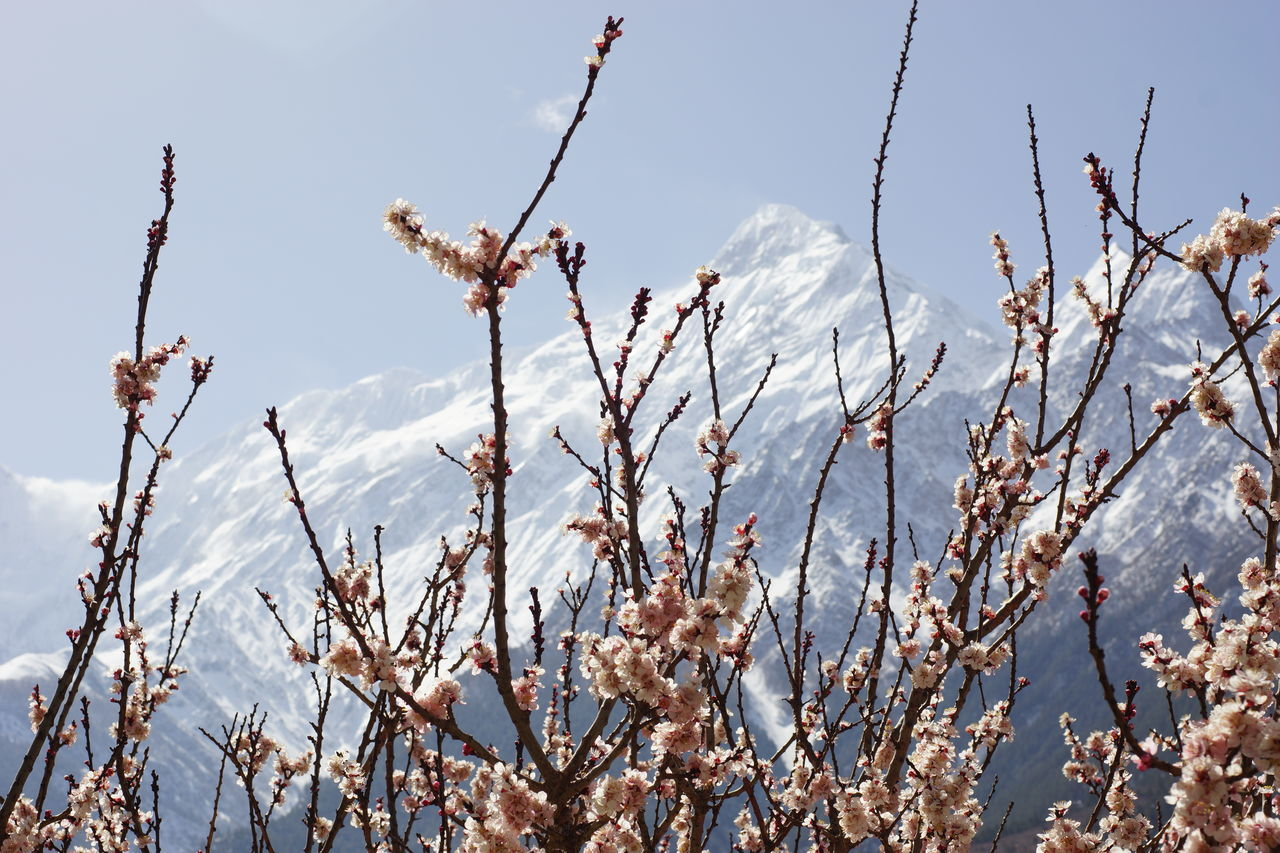 Cherry blossom tree against snow covered mountains