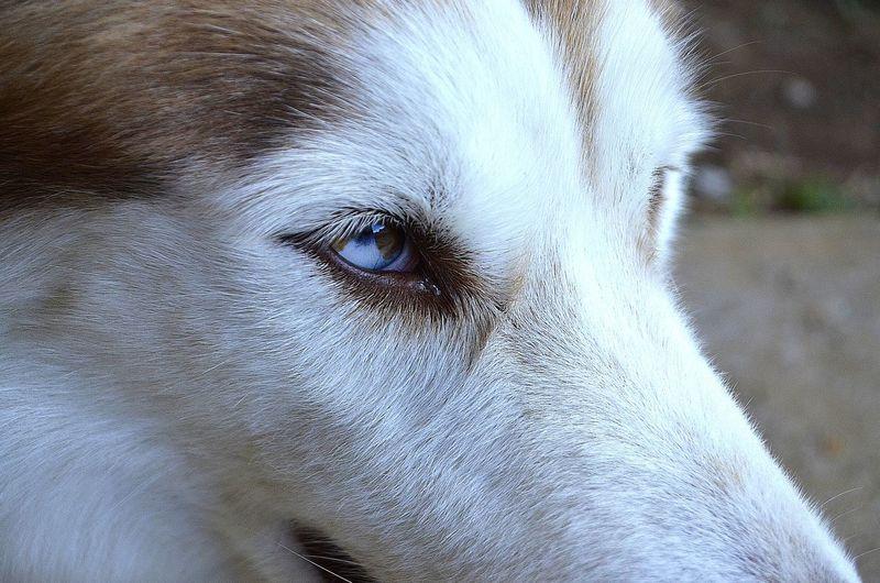 EyeEmNewHere Malamute Lovemyhusky Eye Portrait Looking At Camera Close-up Pets Dog Siberian Husky Canine