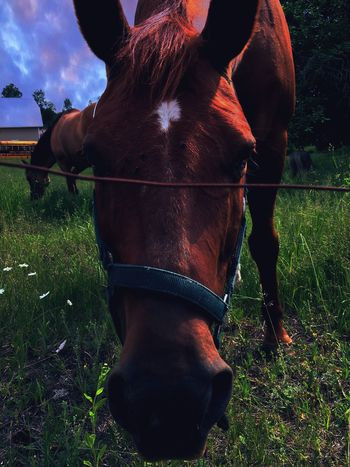 Domestic Animals Animal Themes Mammal Horse Livestock Grass One Animal Working Animal Field Sky Outdoors Day Nature One Person
