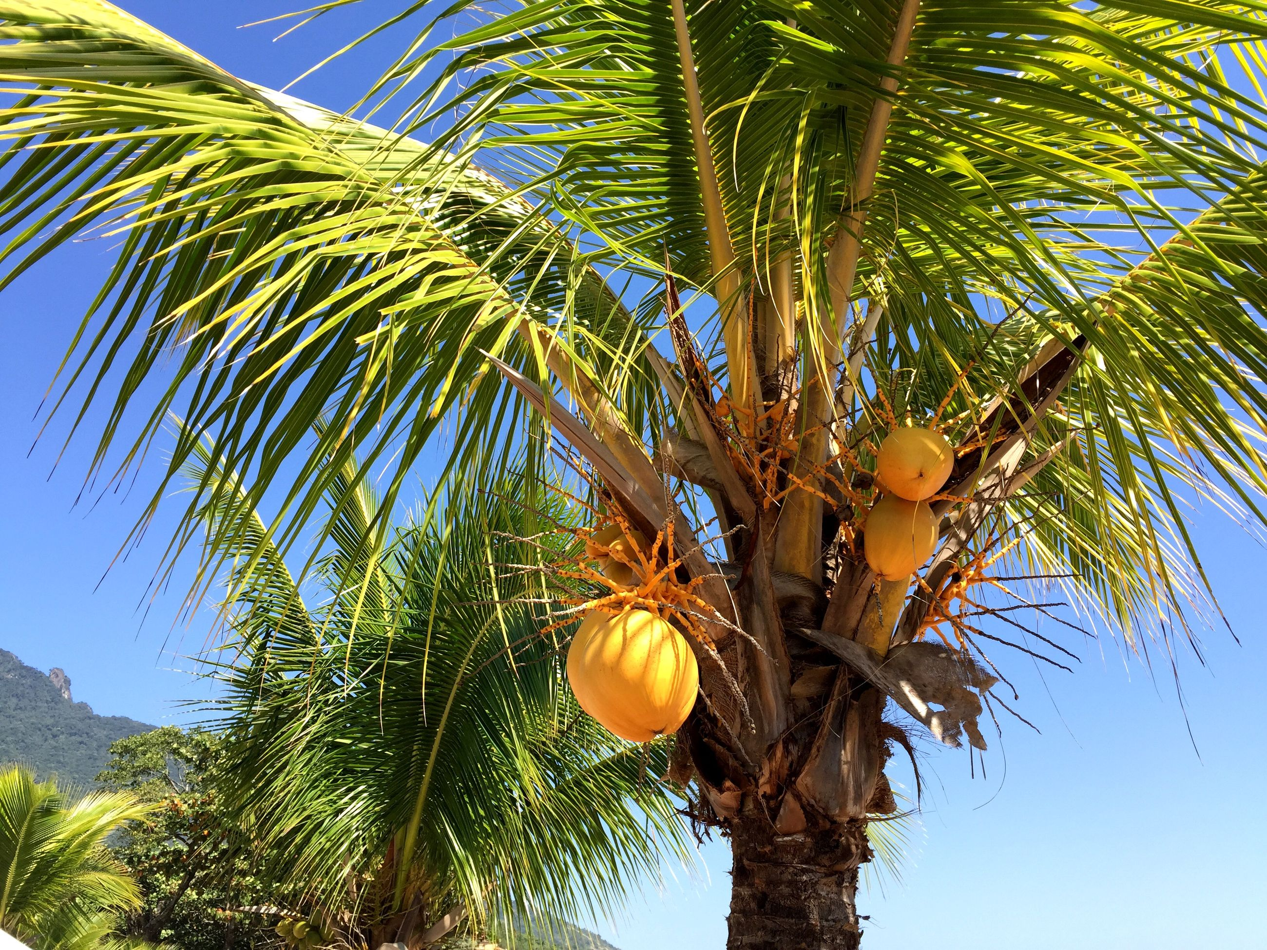 tree, low angle view, palm tree, fruit, growth, branch, food and drink, tree trunk, coconut palm tree, clear sky, sky, nature, green color, leaf, food, palm leaf, hanging, healthy eating, day, outdoors