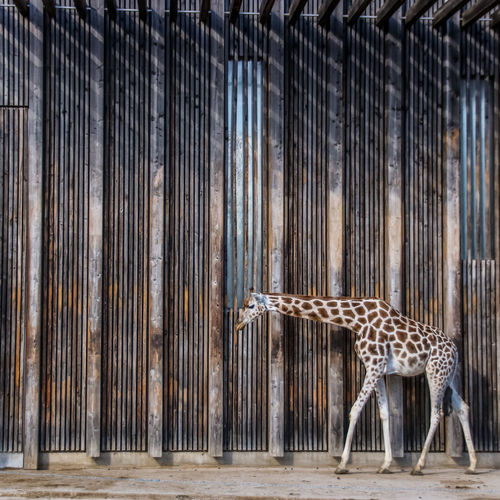 Wood - Material Shadows & Lights Day Architecture Built Structure Outdoors Animal Animal Themes No People Animal Wildlife Metal Mammal Animals In Captivity Pattern Animals In The Wild Cage One Animal Zoo Vertebrate Wall - Building Feature Barrier Zoo Giraffe Stripes
